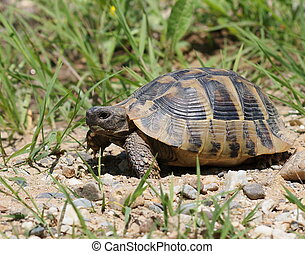 turtle in grass, testudo hermanni - Hermanns Tortoise,...