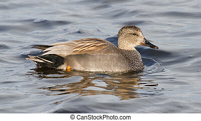 A Gadwall (male) in calm water (Holland)
