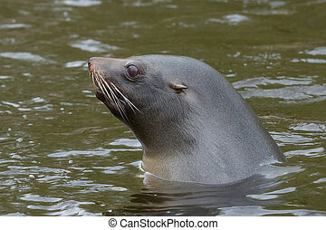 Sea lion in the water