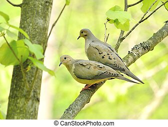 Mourning doves - A pair of mourning doves perched on a tree...