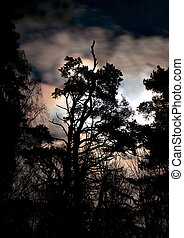 Silhouette of evergreen - silhouette of evergreen tree on...
