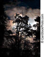 Silhouette of evergreen - silhouette of evergreen tree on...