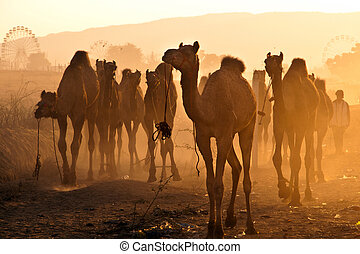 Camels in Pushkar fair - Fresh herd of camels arrive at the...