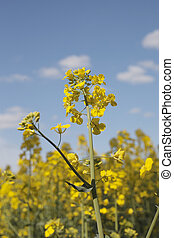 Canola - Blossoming canola plants
