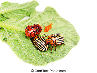 hree Colorado potato beetle on a leaf isolated on white