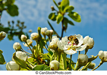 Bee pollinating flowers - Spring. Flowering fruit tree. Bee...