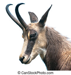 head of chamois (lat. rupicapra rupicapra) isolated on white...