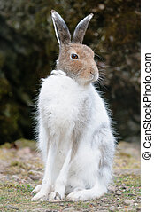 white mountain hare lat Lepus timidus - male white mountain...