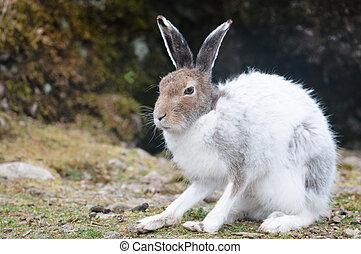 white mountain hare (lat. Lepus timidus) - male white...