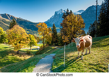 Hiking trail above Grindelwald - Hiking trail on alm with...