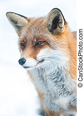 red fox (lat. vulpes vulpes) in winter, captive