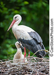 Mother and Baby Stork sitting in nest