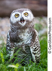 baby snow owl (lat. Bubo scandiacus) - young cute baby snow...