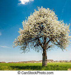 Blossoming Tree in Spring - Single blossoming tree in spring...