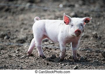 Cute happy baby pig with ear tag