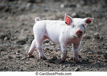 CÙte, Feliz, bebê, porca
