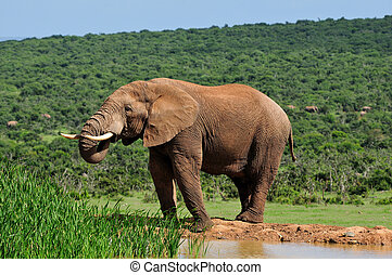 Elephant drinking water at Harpoor Dam, Addo Elephant...