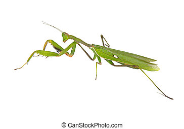 Green mantis isolated on white background