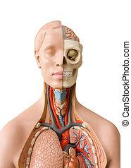 Human anatomy dummy isolated on white background