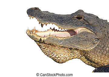 Head of an American alligator isolated on white