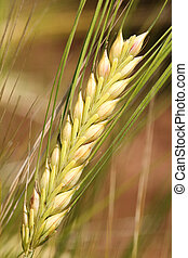 Barley - wheat. - Barley - wheat close up.