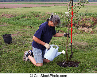 woman planting a tree - woman planting and watering an apple...