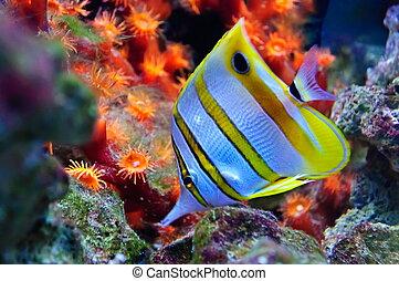 marina, tropical, pez