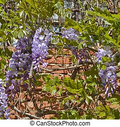 Wisteria plant - Wisteria Wistaria flowering plant in the...