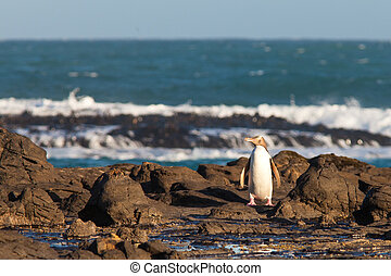 Adult NZ Yellow-eyed Penguin or Hoiho on shore - Adult...