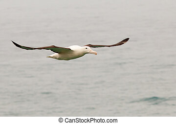 Southern Royal Albatross, Diomedea epomophora, with large...