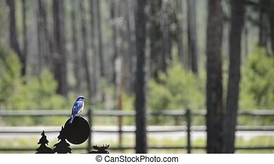 Bluebird on a weather vane - A Western Bluebird Sialia...