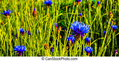 Cornflower - A bunch of cornflowers in a meadow