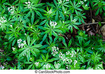 Woodruff white flowers - Closeup of woodruff white flowers...