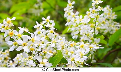 bird-cherry tree blossoms