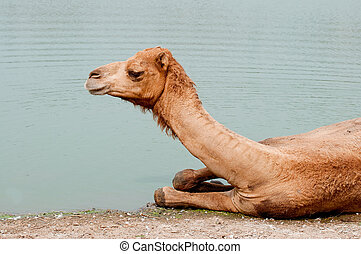 The Camel soak on the water