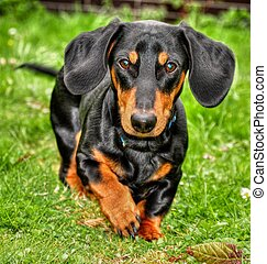 Dachshund - Black dachshund running on the grass