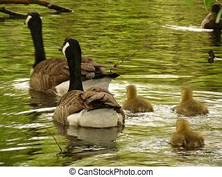 Canada Geese and Goslings - Canada geese and three goslings...