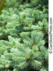 Blue Spruce Tree Branches - Silver, blue spruce pine, fir...