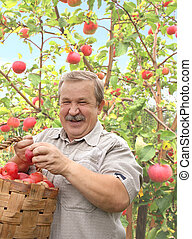 Harvesting a apple - Elderly man, harvesting a apple