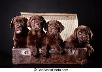 three puppies of Labrador retriever in vintage suitcase -...