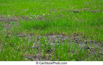 green grass - background of green grass growing on the...