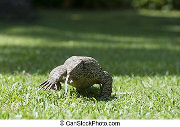 Wild waranus in chase of a prey - Wild varanus in chase of a...