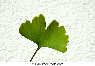 Ginko - Ginkgo Biloba leaf - Ginko Biloba leaf on white...