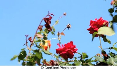 roses being swayed by the wind in the garden