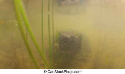 Snapping turtle underwater - Snapping turtle in a murky...