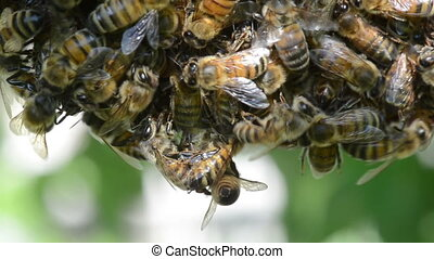 Swarm of bees - Swarm of honey bees clinging to a tree