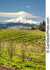 Mt Hood, apple orchards, Oregon - Apple orchards blossoming...