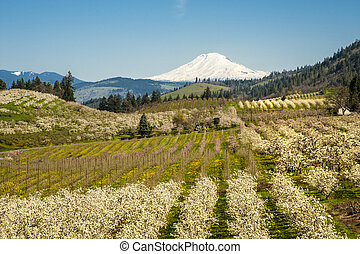 Mt Adams, apple orchards, Oregon - Apple orchards blossoming...