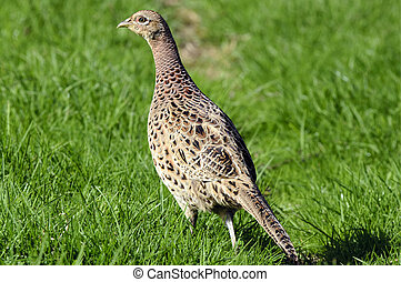 Wildlife Photos - Common Hen Pheasant - Hen Pheasant...