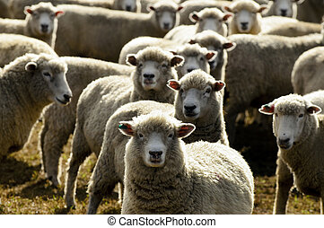 Travel New Zealand - Sheep Farm - Flock of sheep, New...